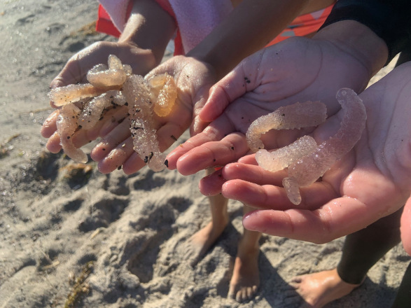 What are the odd sea creatures that look like fingers found recently off California's coastline?