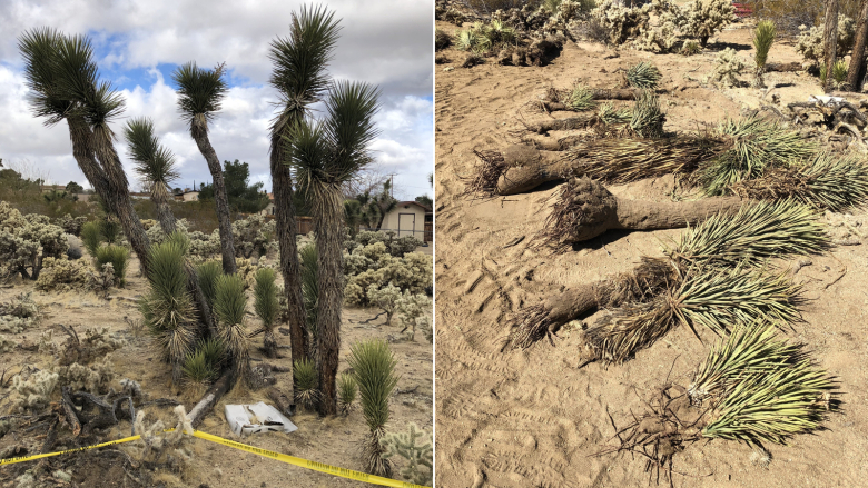 California couple fined for digging up and burying Joshua trees